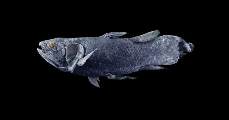 The Coelacanth May Live for a Century. That's Not Great News